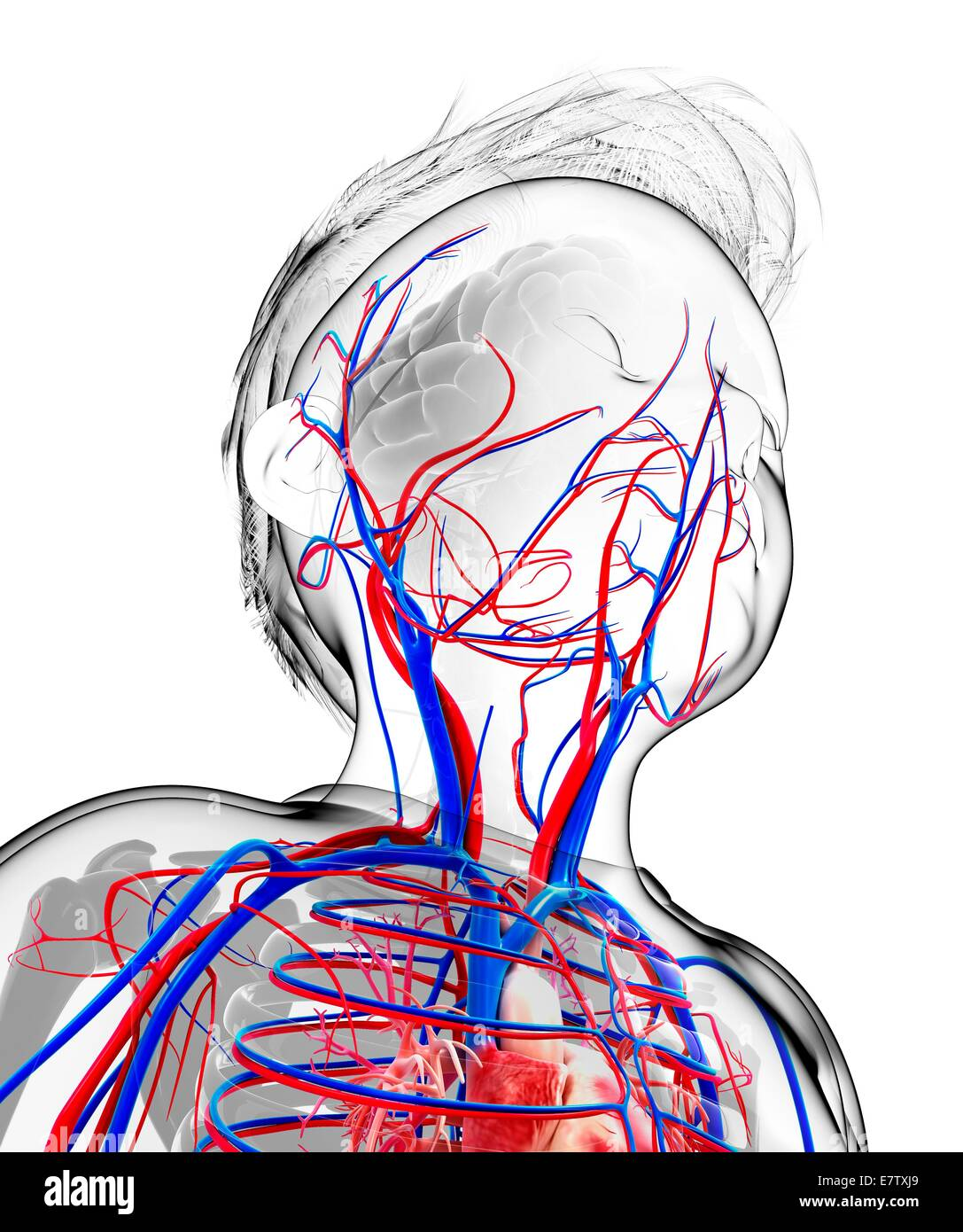 Schön Menschliches Kreislaufsystem Ideen - Menschliche Anatomie ...
