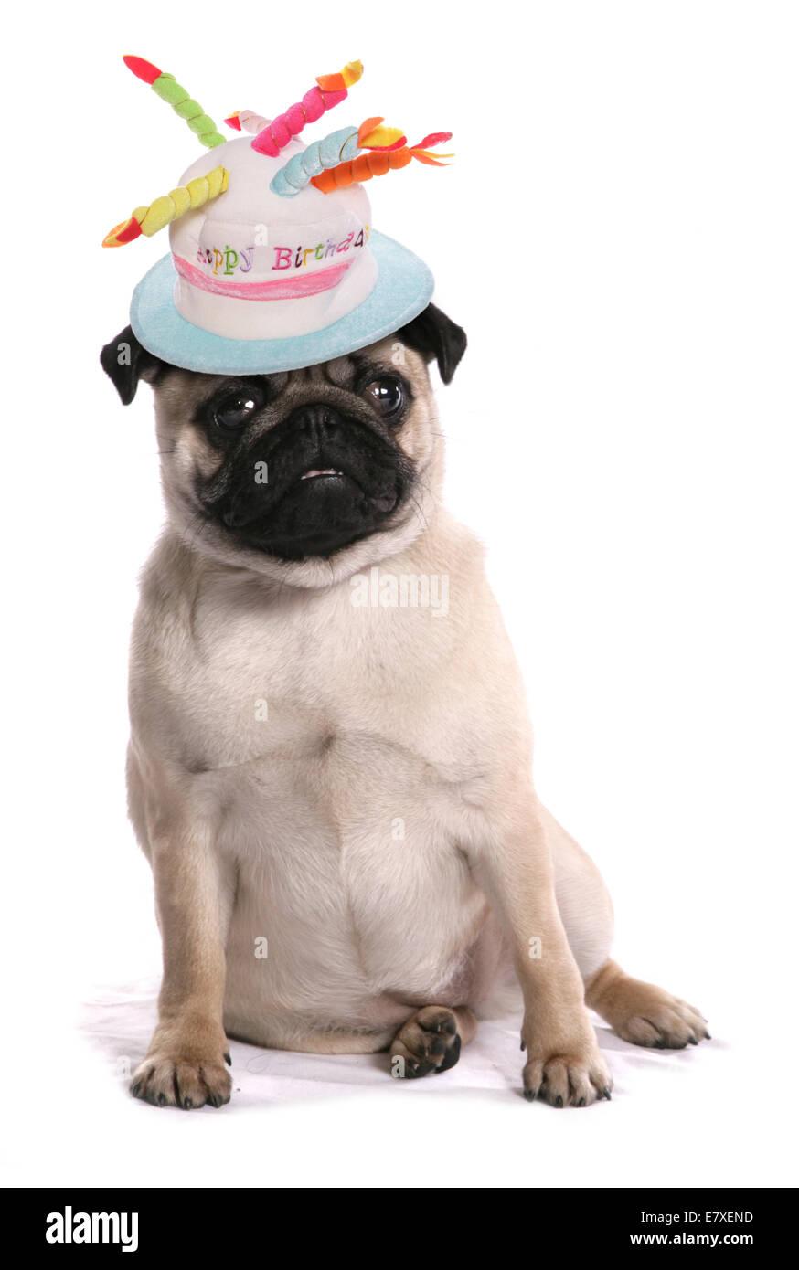 Mops Hund Tragen Geburtstag Hut Stockfoto Bild 73726393 Alamy