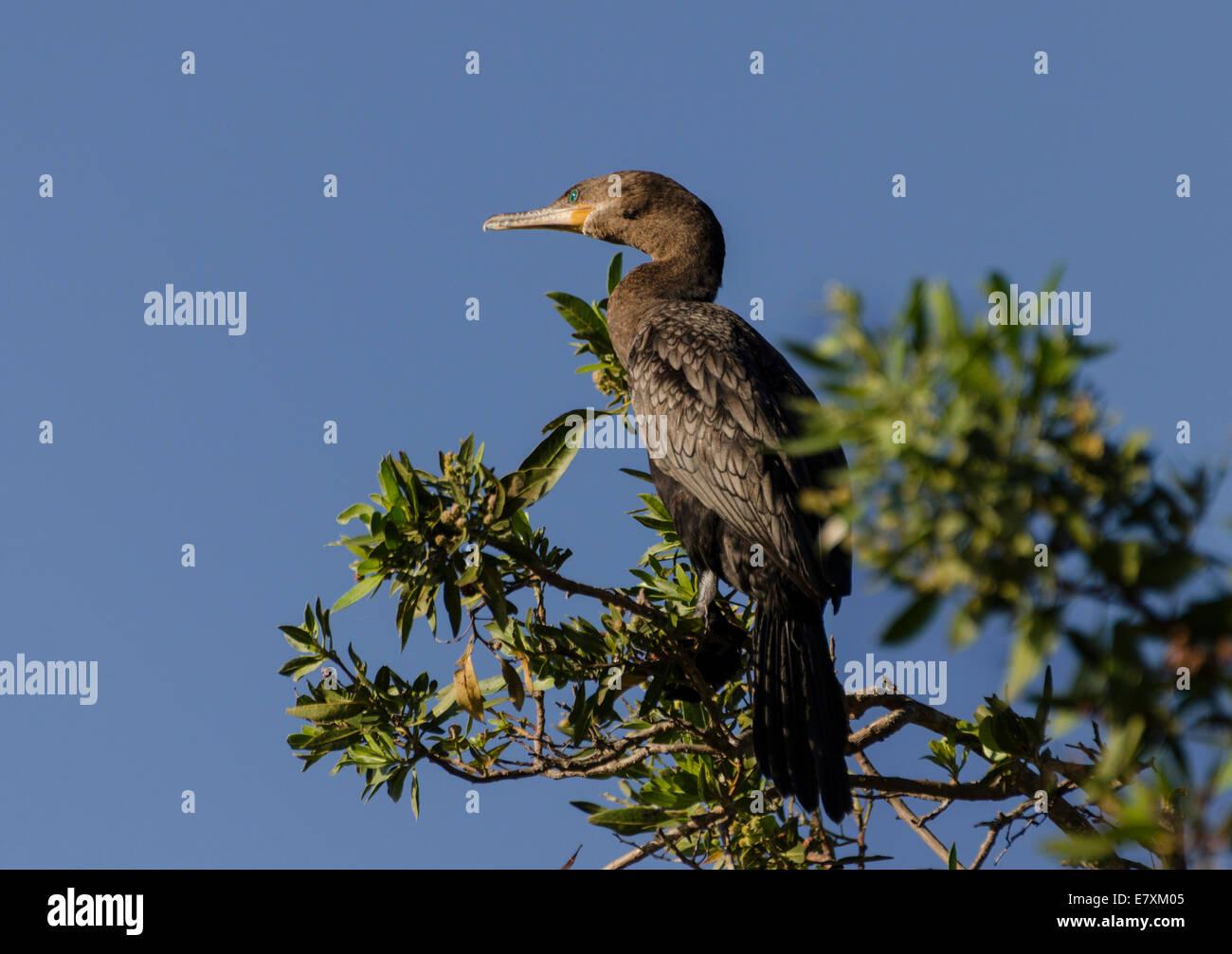 Ein Doppel-crested Kormoran (Phalacrocorax Auritus) thront auf einem Baum in der Nähe von einer Lagune, Isla Stockbild