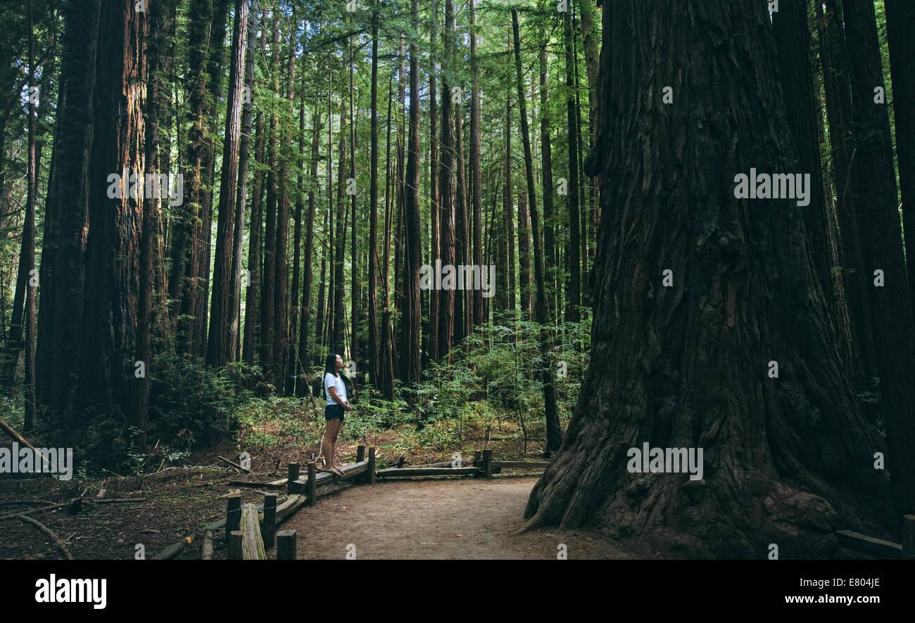 Verloren im Wald (Armstrong Redwoods) Stockbild
