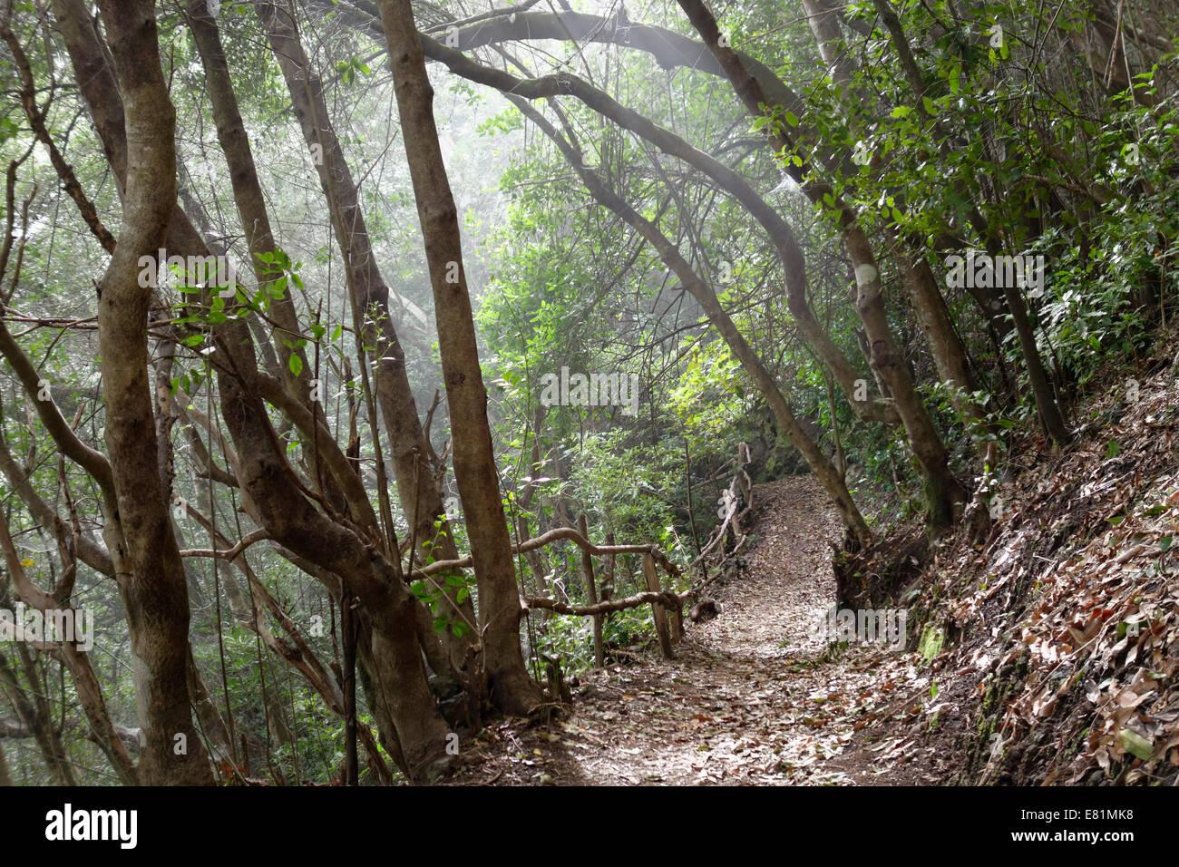Wanderweg in den Lorbeerwald Los Tilos Biosphärenreservat, in der Nähe von Los Sauces, La Palma, Kanarische Inseln, Stockfoto