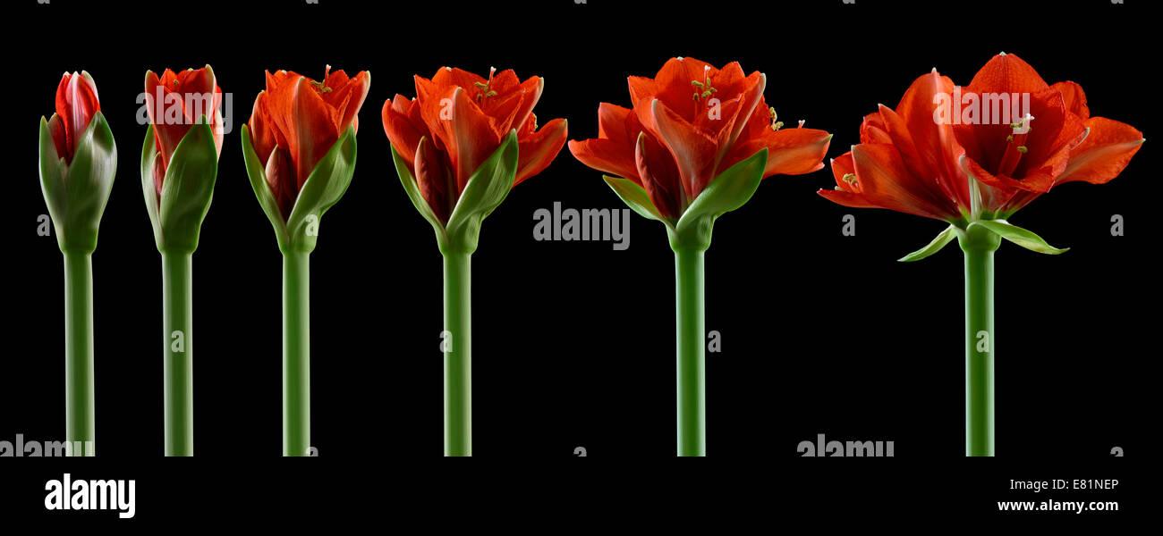 Amaryllis, Blüten in verschiedenen Stadien des Wachstums, von der Knospe bis zur Blüte zu öffnen Stockbild