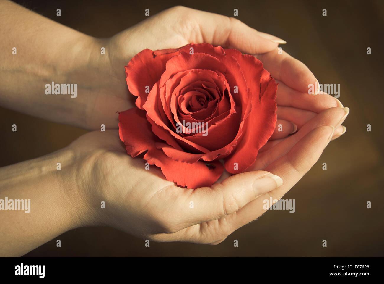 weibliche Hände halten eine rote rose Stockbild