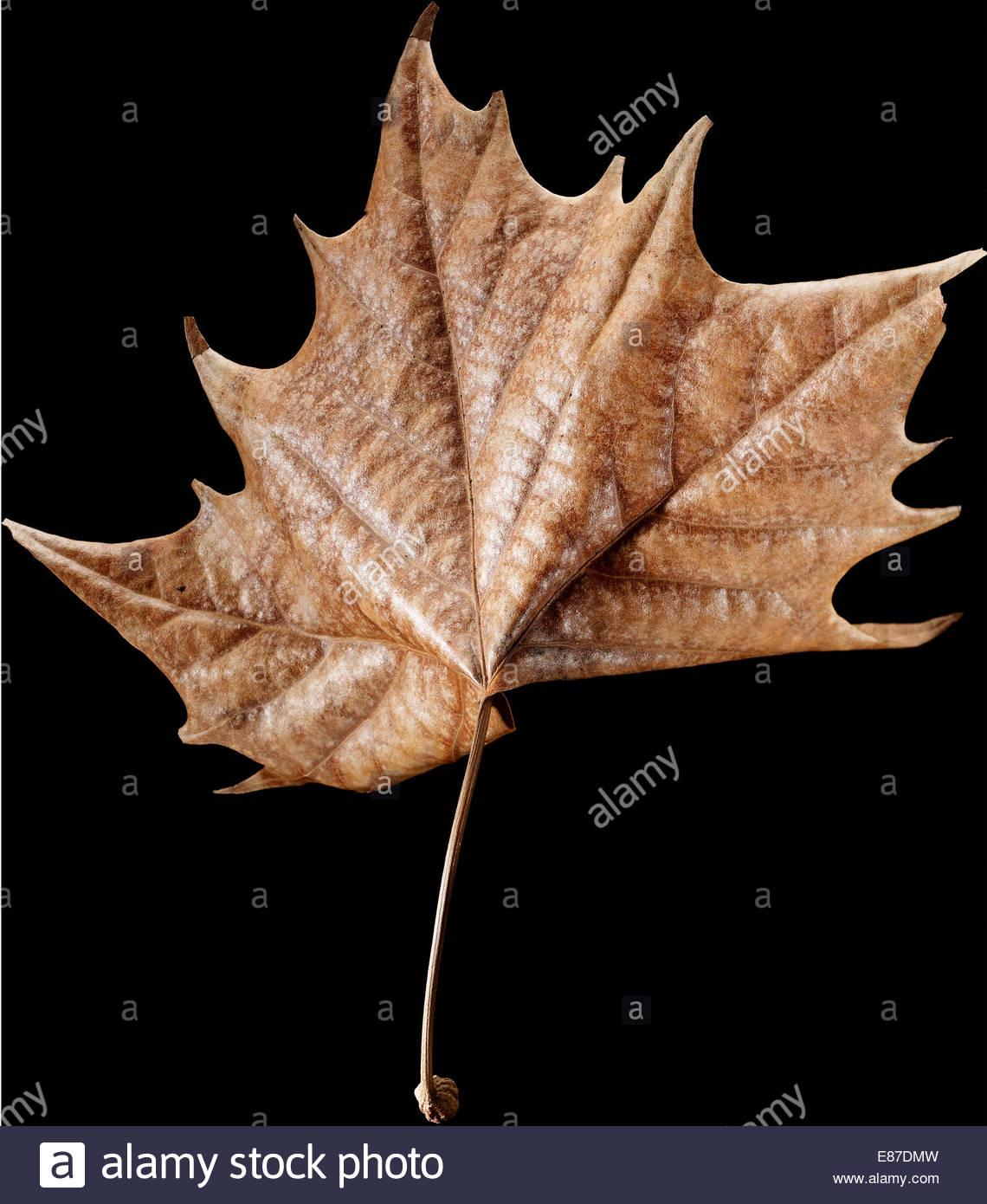 Schöne trockene Ahornblatt auf schwarzem Hintergrund Stockbild