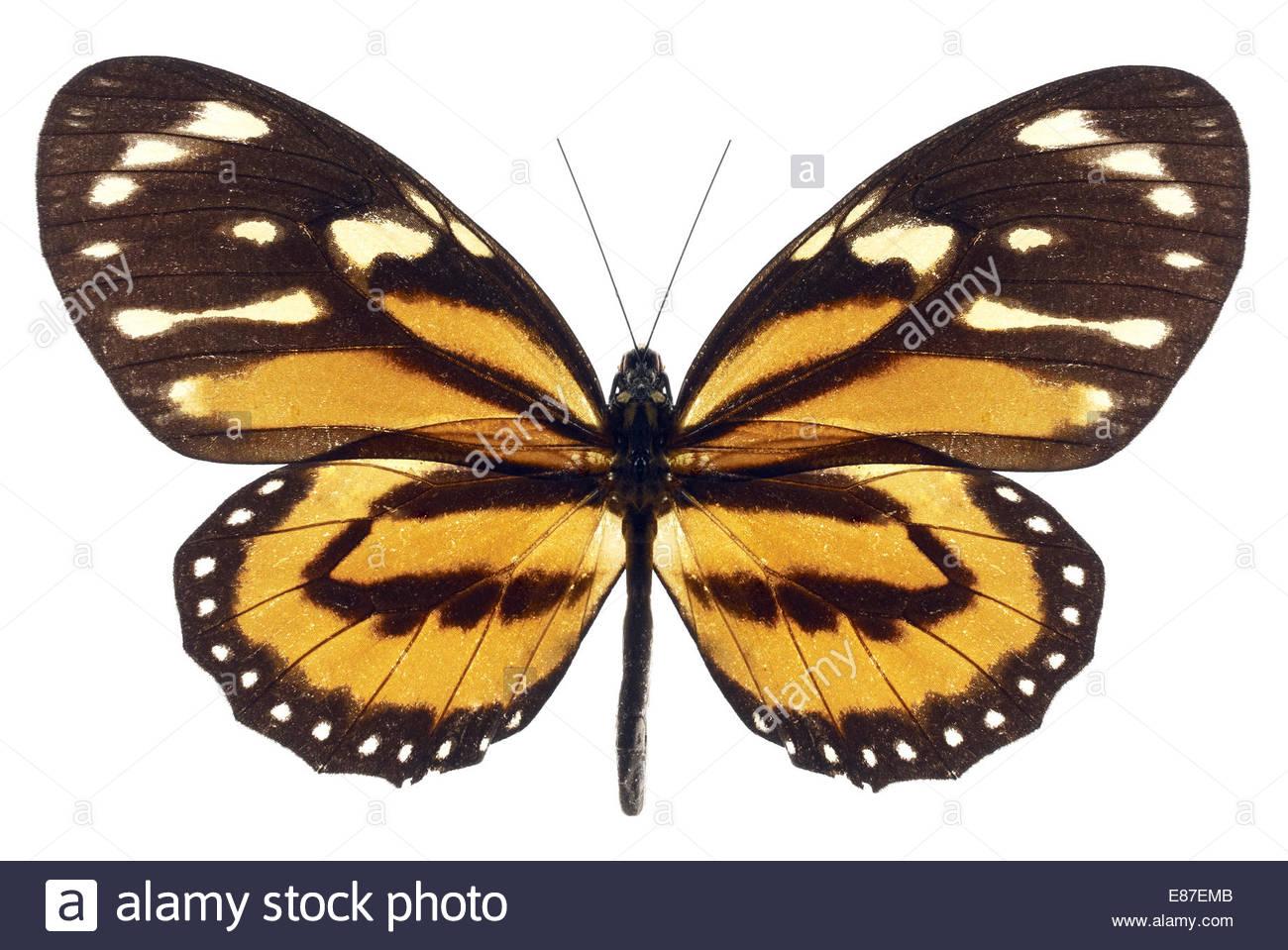 Monarch-Schmetterling mit offenen Flügeln auf weißem Hintergrund Stockbild
