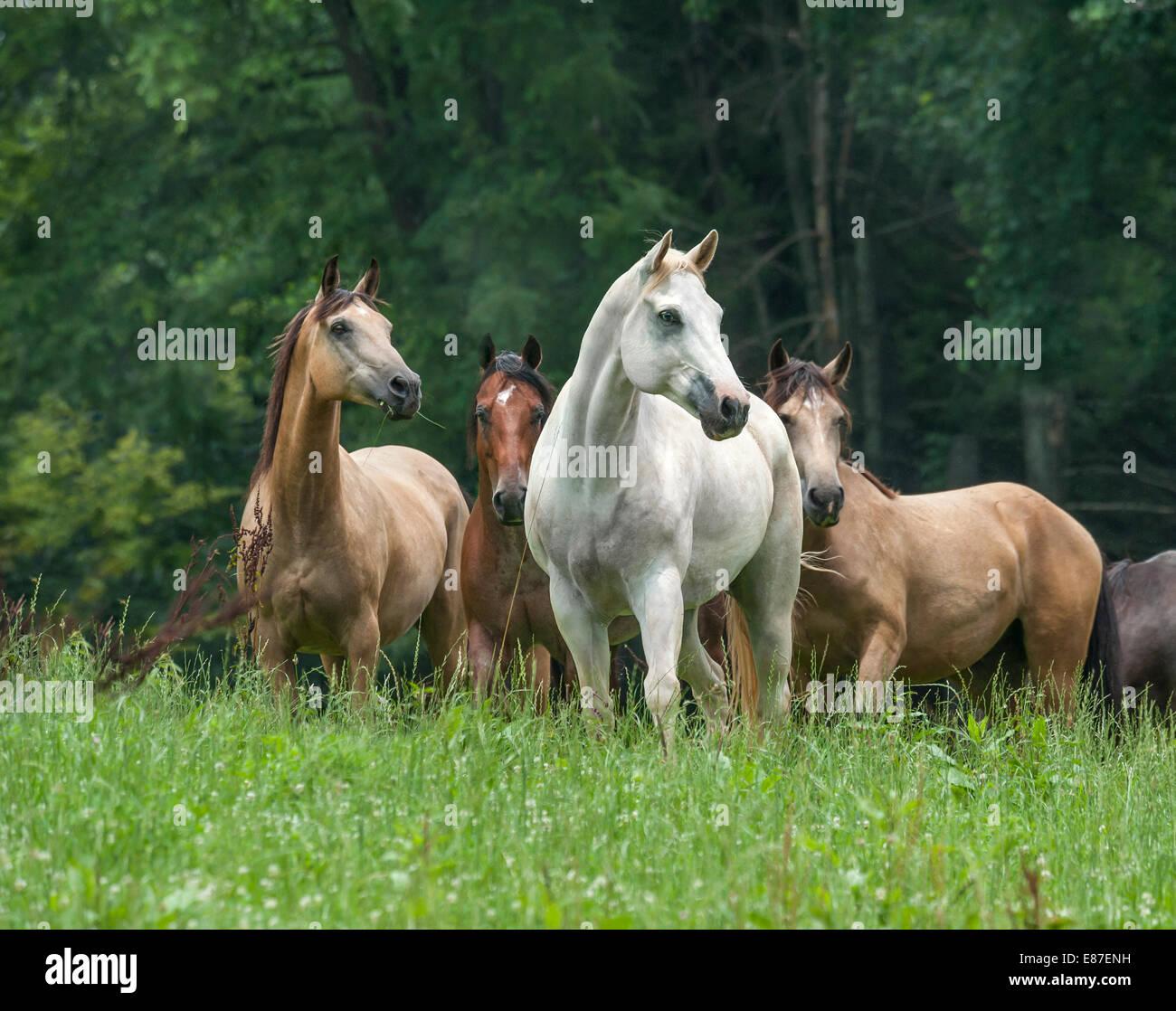 Herde von verschiedenen Pferderassen in üppigen grünen Fahrerlager Stockbild