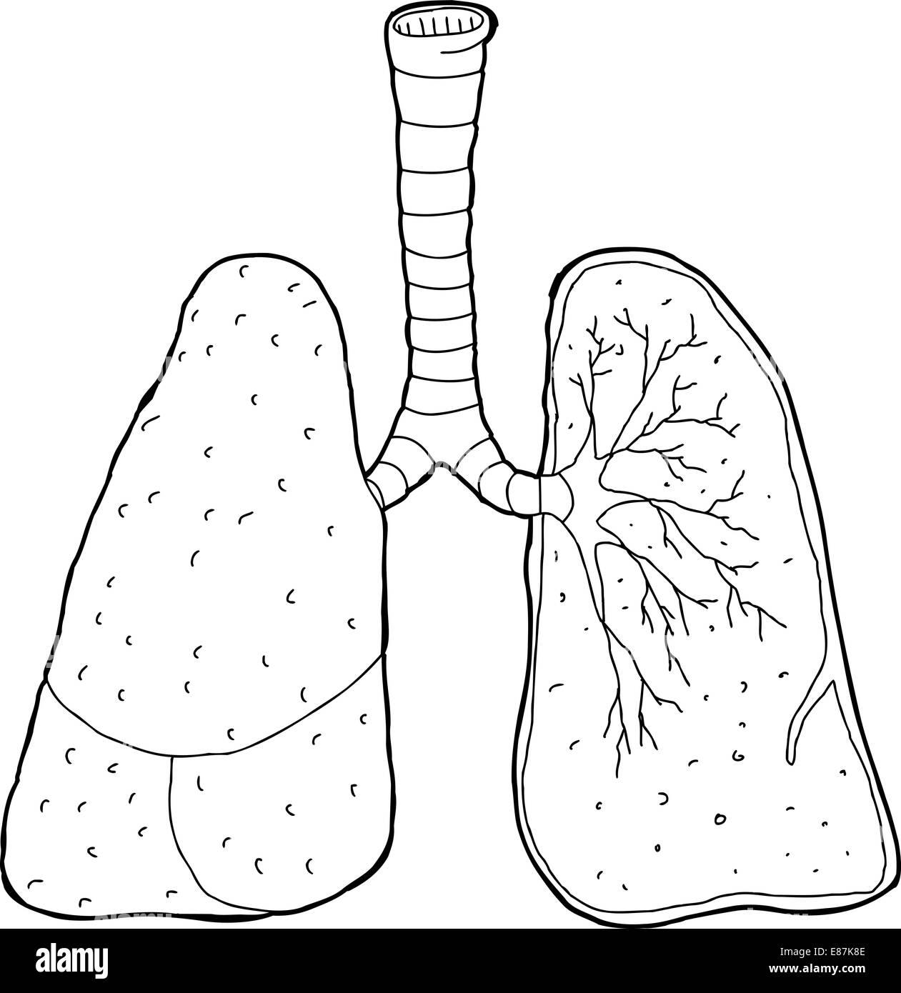 Querschnitt der menschlichen Lunge und Luftröhre zeichnen Stockfoto ...