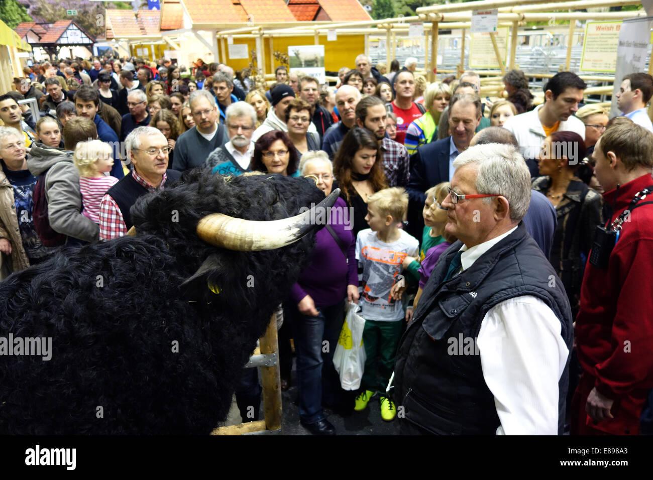 Berlin, Deutschland, Schau live Stier an die Besucher der Grünen Woche Stockbild