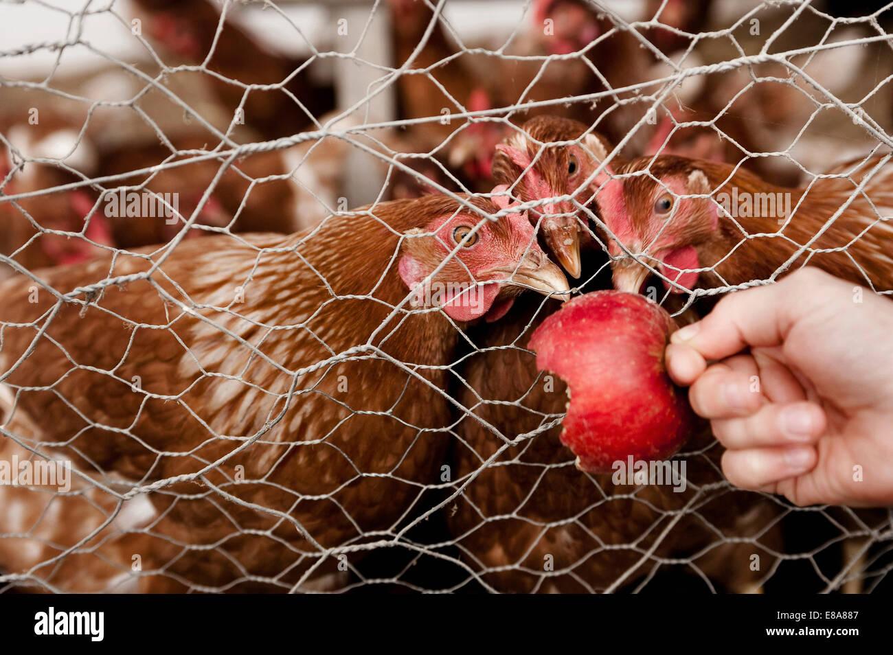 Mädchen am Bio-Bauernhof Hühner füttern Stockbild