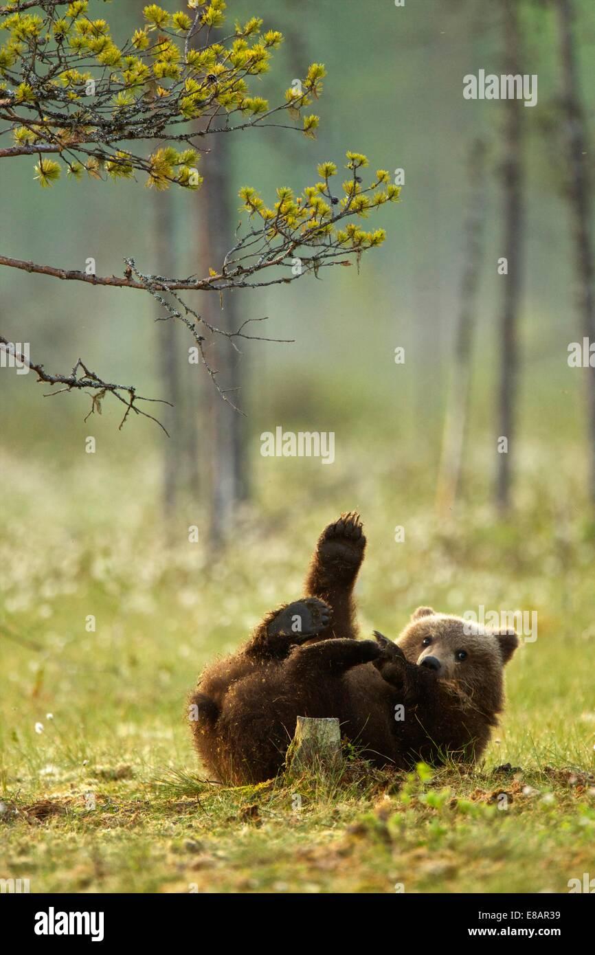 Brown Bear Cub spielen (Ursus Arctos) in Taiga-Wald, Finnland Stockbild