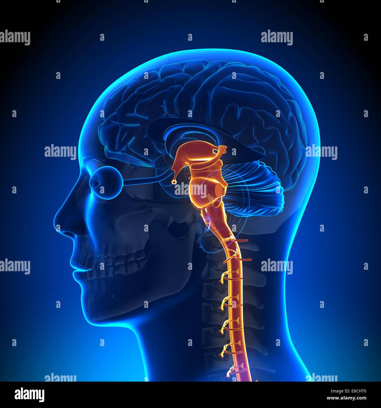 Rückenmark Nerven - Gehirn-Anatomie Stockfoto, Bild: 74036144 - Alamy