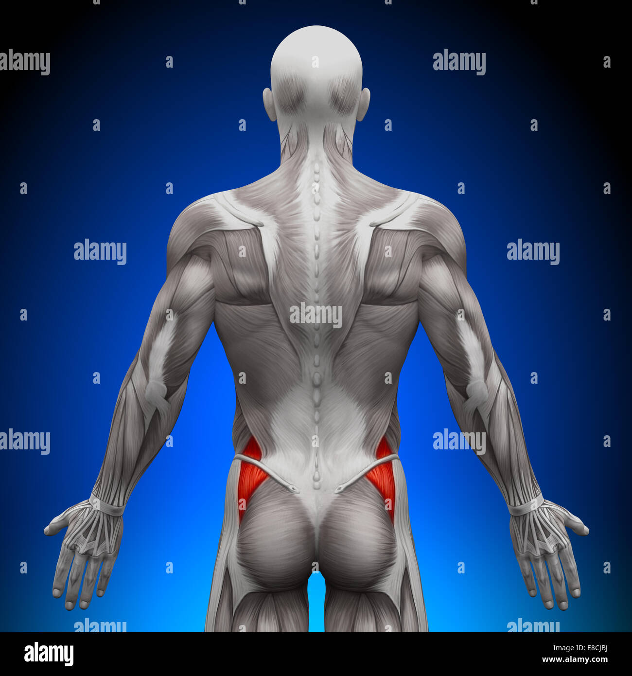 Anatomy Male Muscular Back View Stockfotos & Anatomy Male Muscular ...