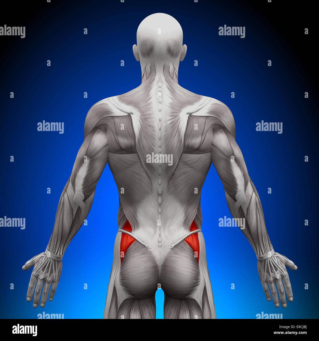 Gluteus Medius - Anatomie Muskeln Stockfoto, Bild: 74036582 - Alamy