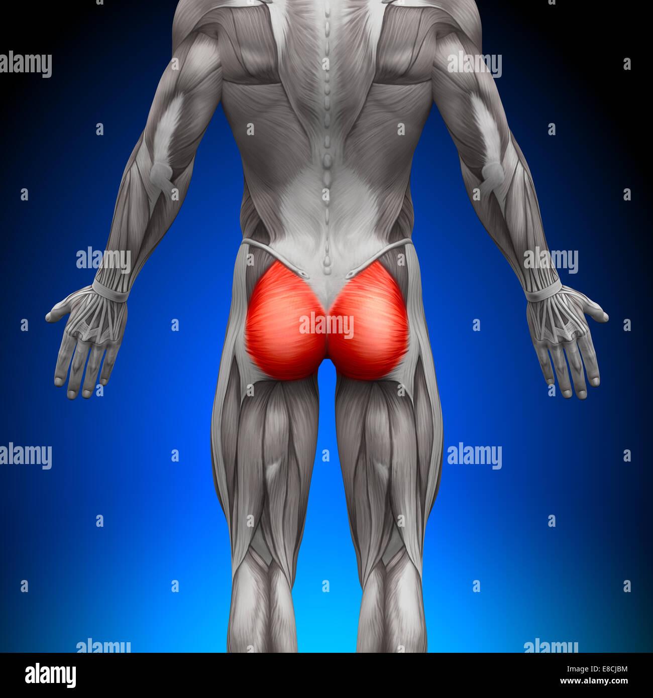 Gesäß / Gluteus Maximus - Anatomie Muskeln Stockfoto, Bild: 74036584 ...