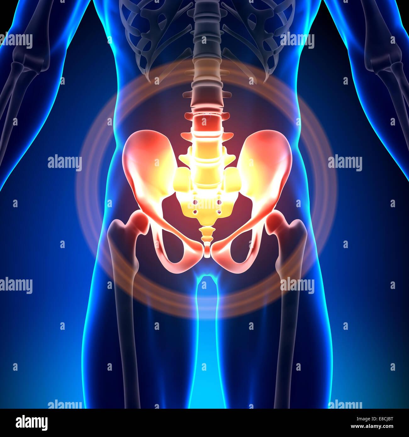 Hüfte / Kreuzbein / Schambein / Sitzbein / Ilium - Anatomie-Knochen ...