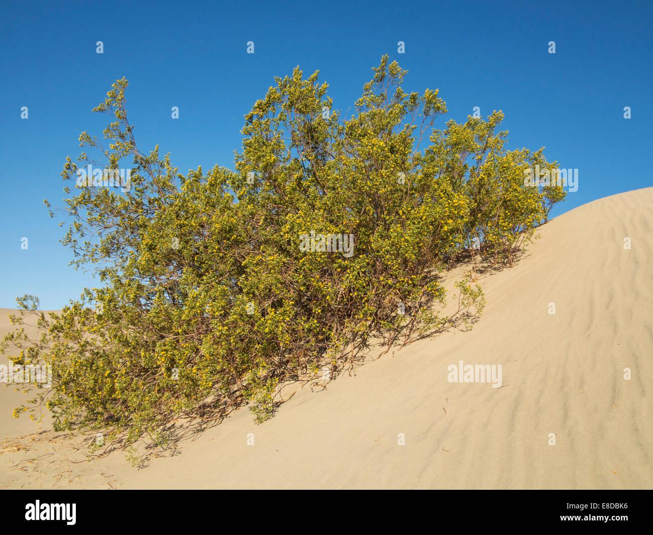 Honig Mesquite (Prosopis Glandulosa Torreyana) blühen im Frühling auf einer Düne, Mesquite flache Sanddünen, Death Valley Stockfoto