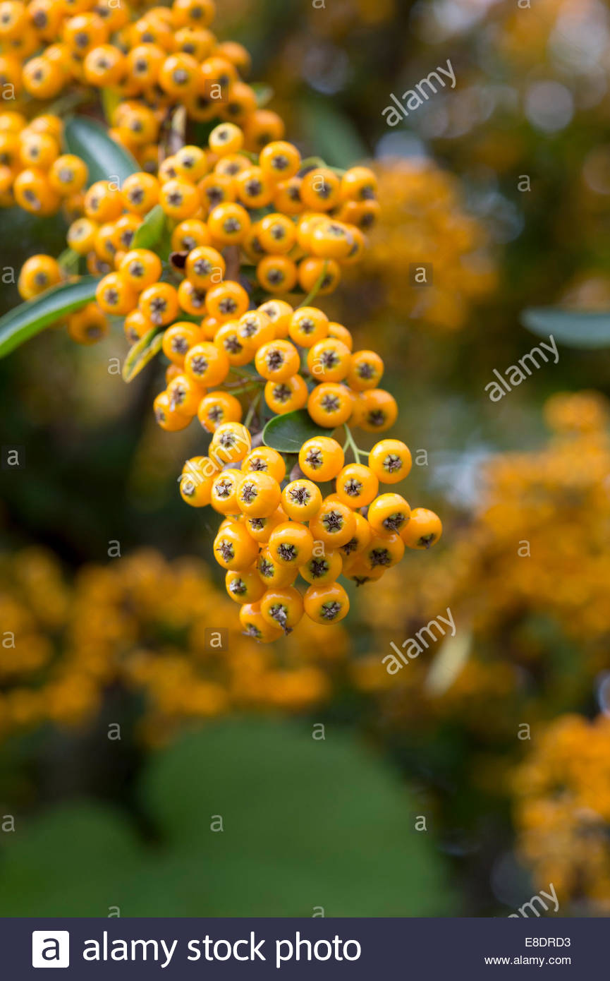 horticulture pyracantha firethorn stockfotos horticulture pyracantha firethorn bilder alamy. Black Bedroom Furniture Sets. Home Design Ideas