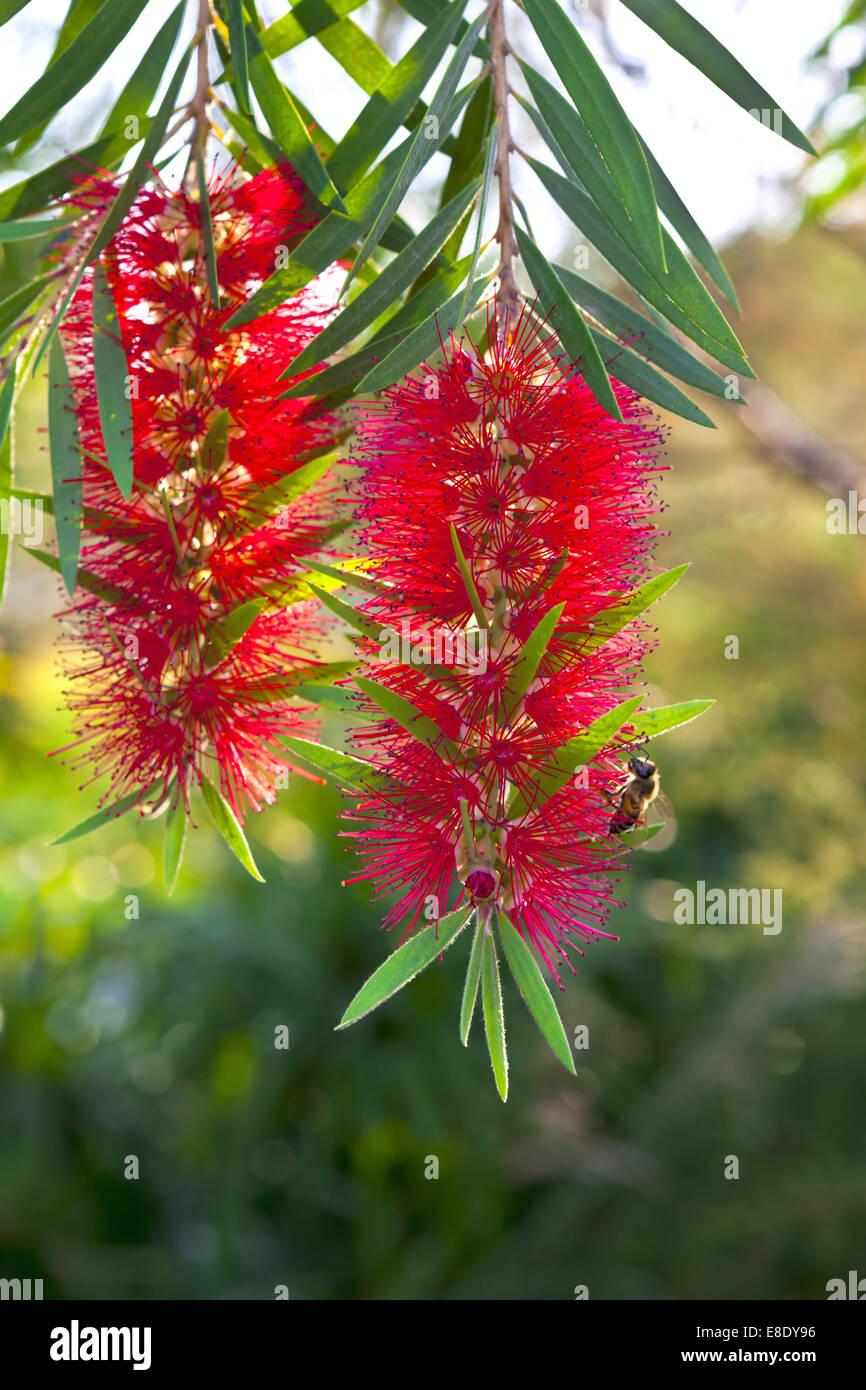 Zylinderputzer rote Flasche Bürste Blütenstrauch. Stockbild