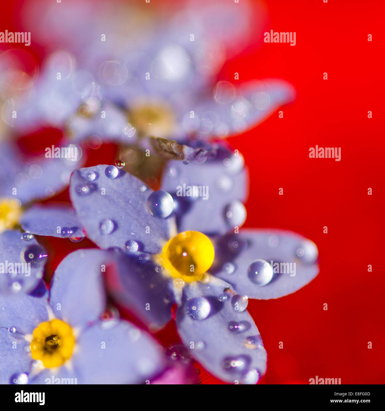 Wassertropfen auf lila Blumen Stockbild