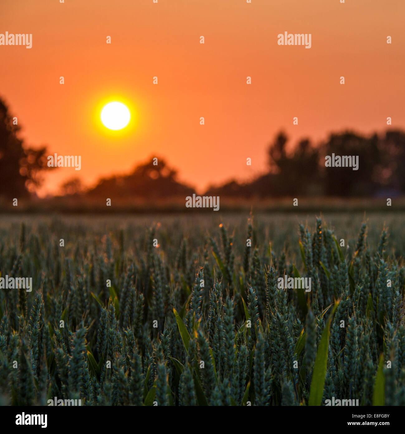 Sonnenuntergang über Weizenfeld Stockfoto
