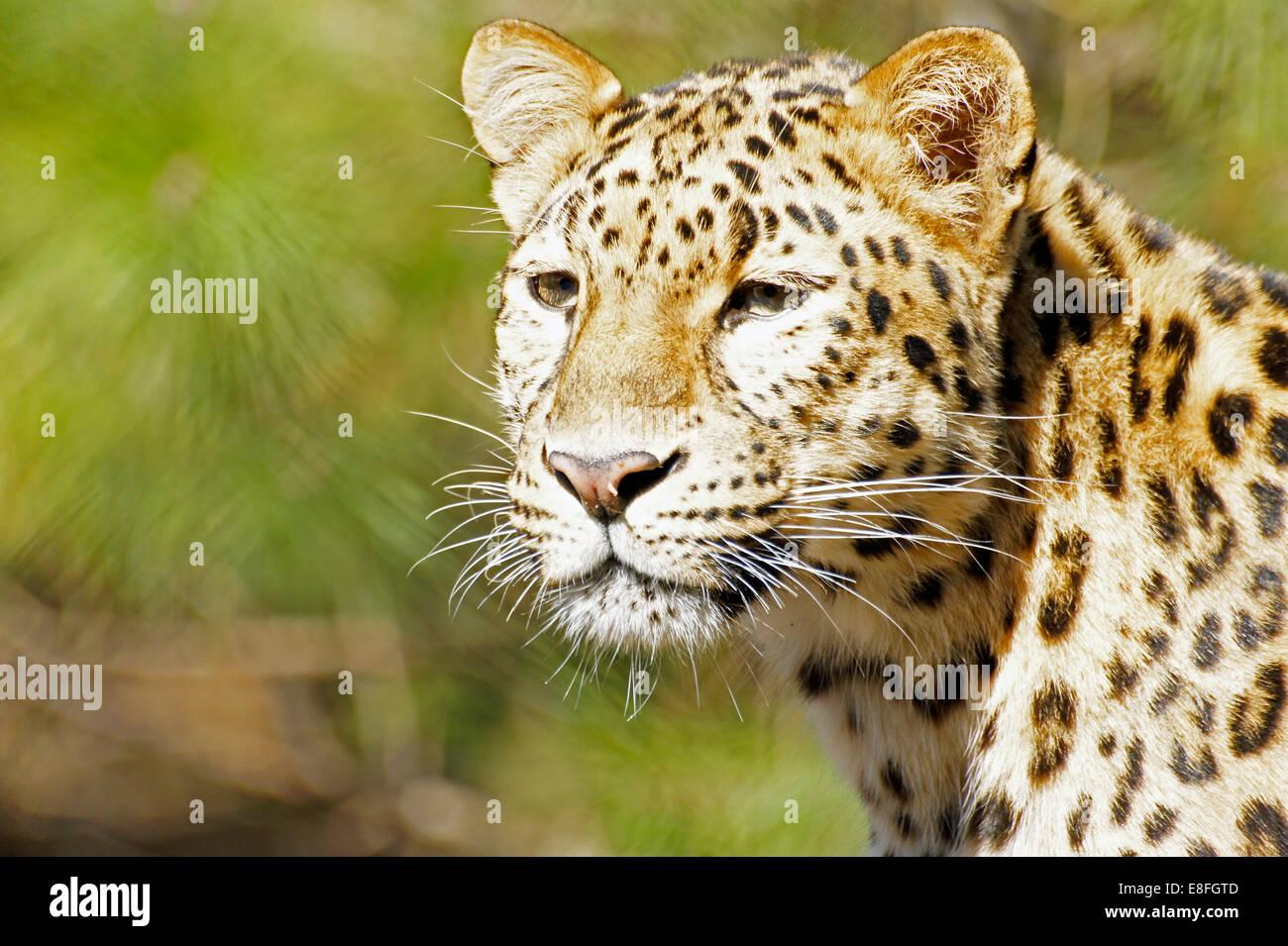 Leopard Standing Looking Animal Stockfotos  Leopard Standing
