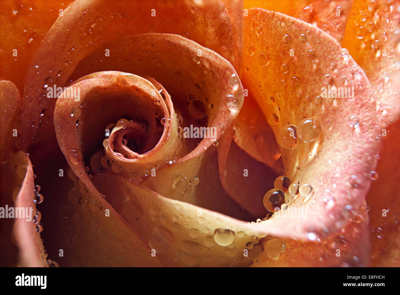 Nahaufnahme einer Rose in Wassertröpfchen bedeckt Stockbild
