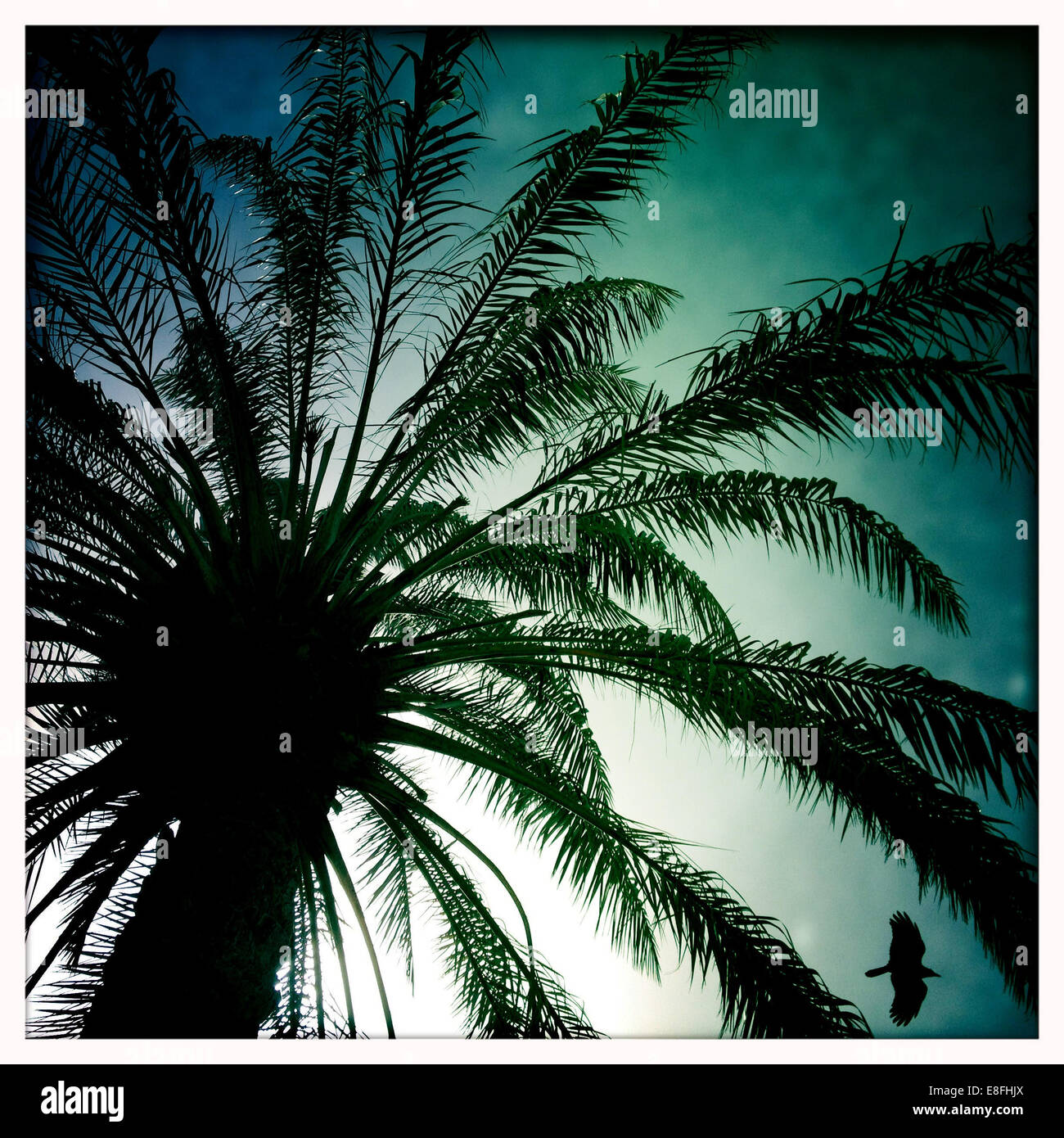 Oman, Maskat, Palme und Silhouette Vogel Stockbild