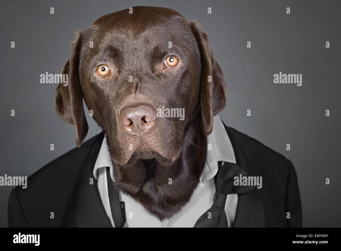 Cool Chocolate Labrador im Smoking vor einem grauen Hintergrund Stockbild