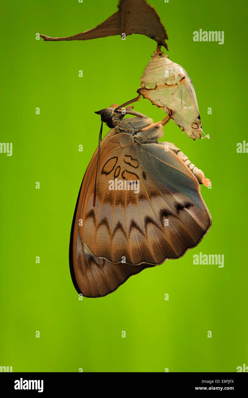 Indonesien, Jember, Nahaufnahme des Schmetterlings (Pseudozizeeria Maha) Stockbild