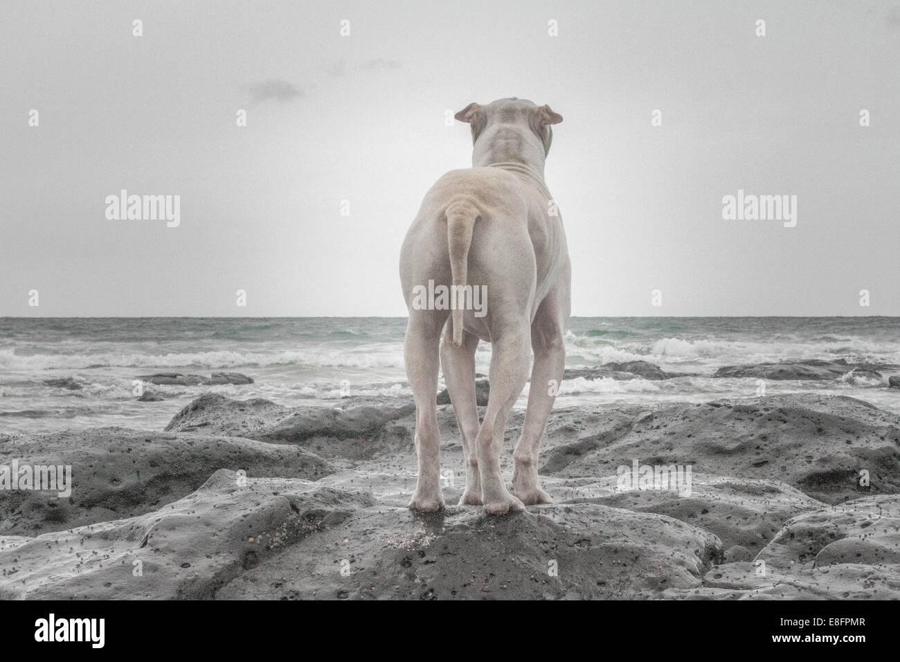 Shar-pei stehen am Strand Stockbild