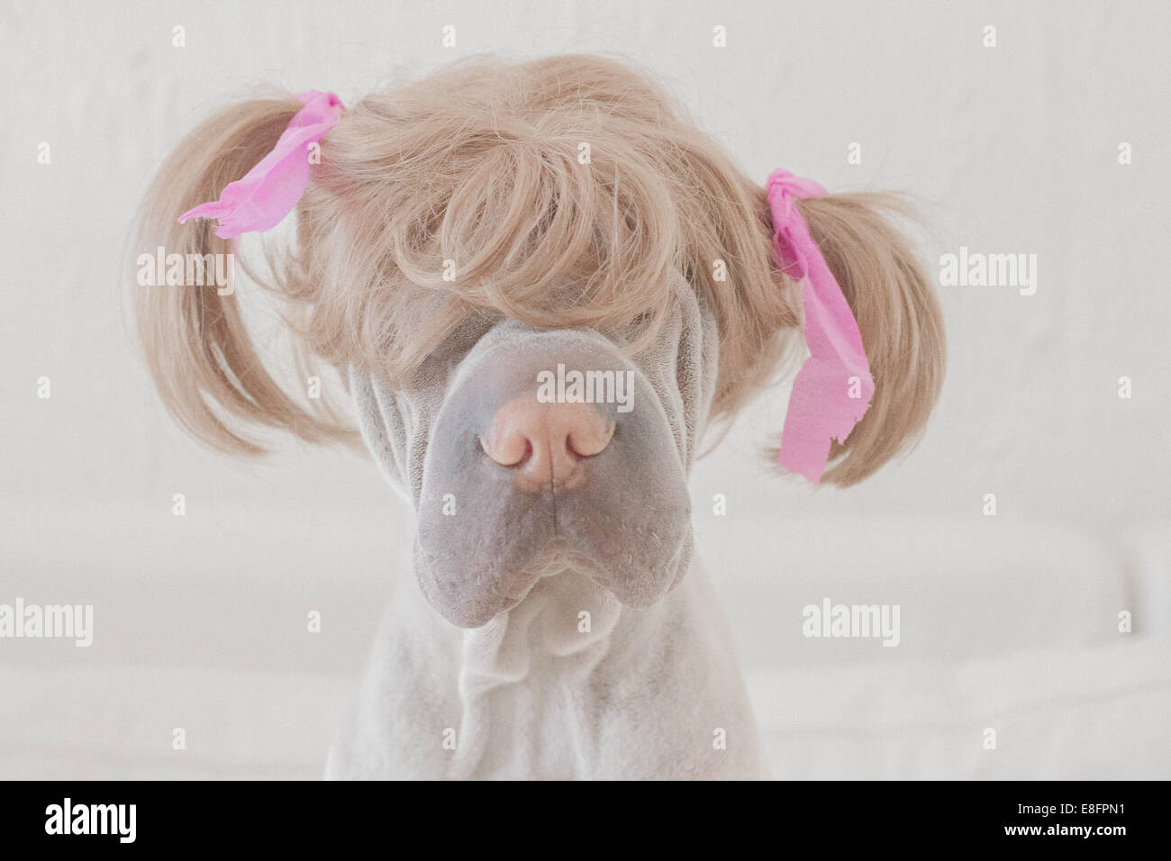 Hund trägt Perücke mit Zöpfen Stockbild
