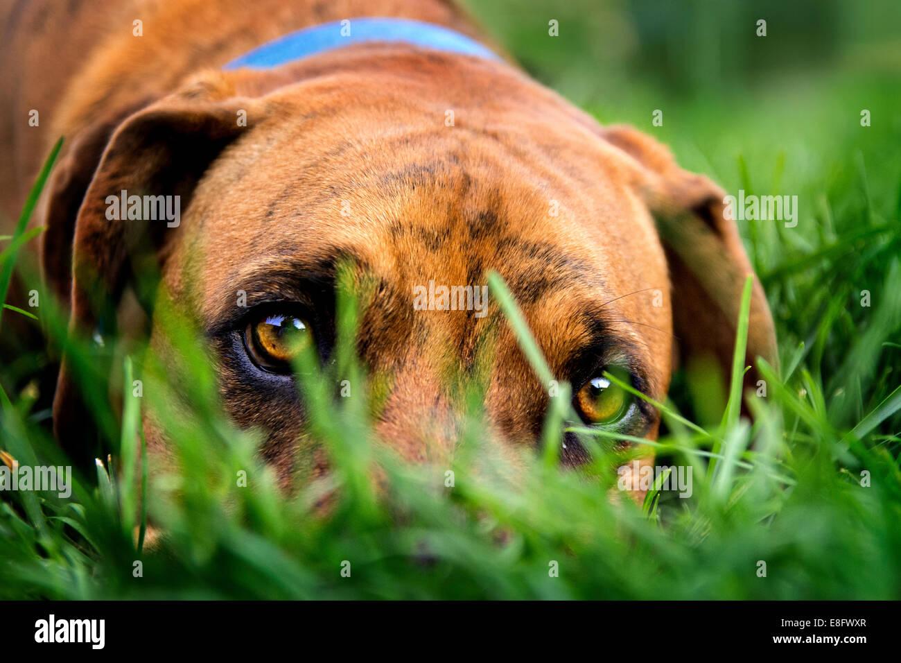 Hund ruht in Rasen Stockbild
