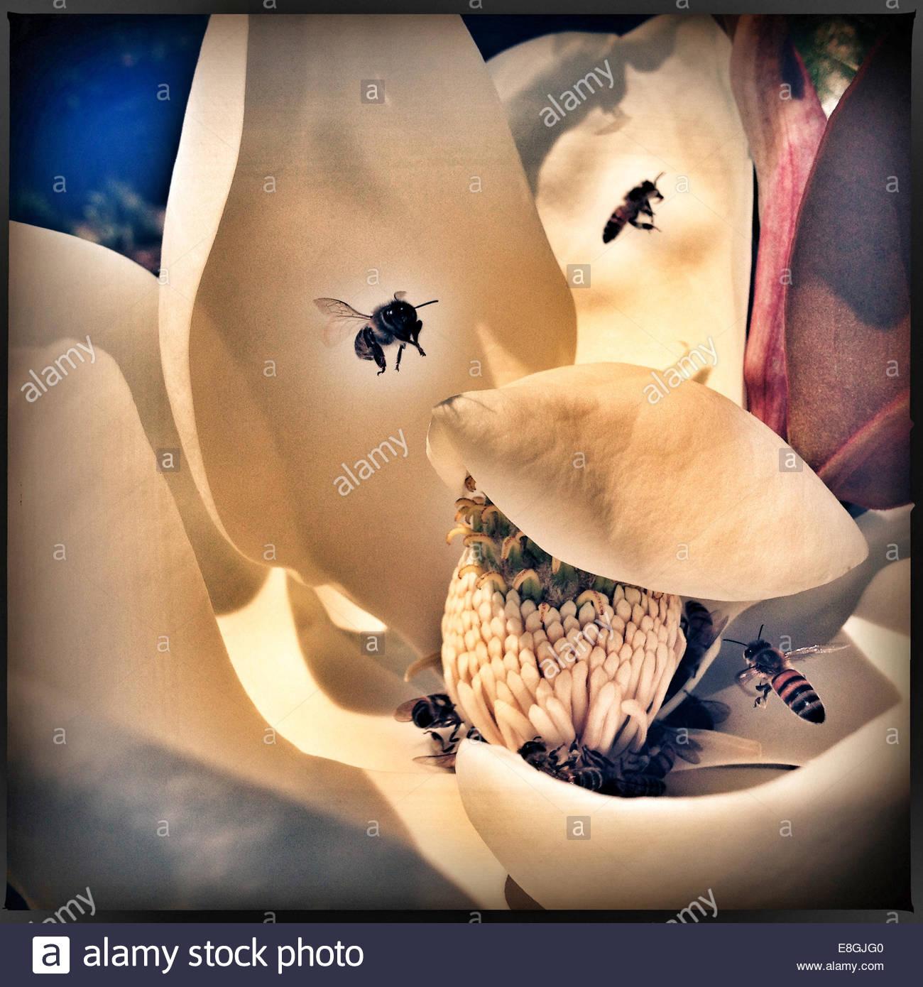 Nahaufnahme der Bienen bestäuben eine Blume Stockbild