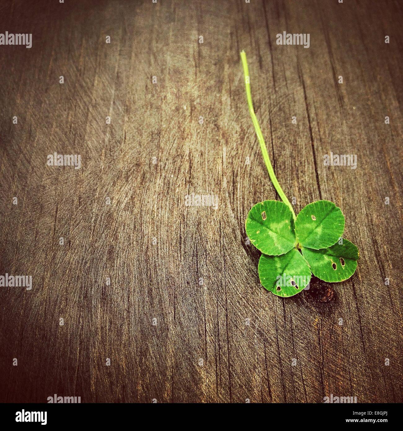 Vierblättriges Kleeblatt auf Holztisch Stockbild
