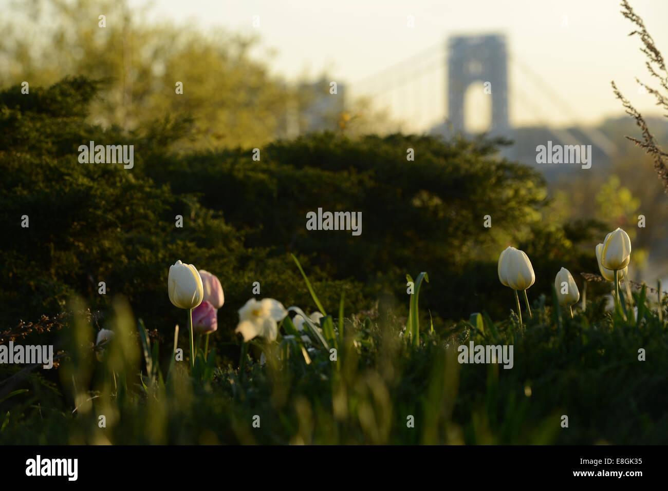 USA, New York State, New York City, Tulpen im Frühling Stockbild