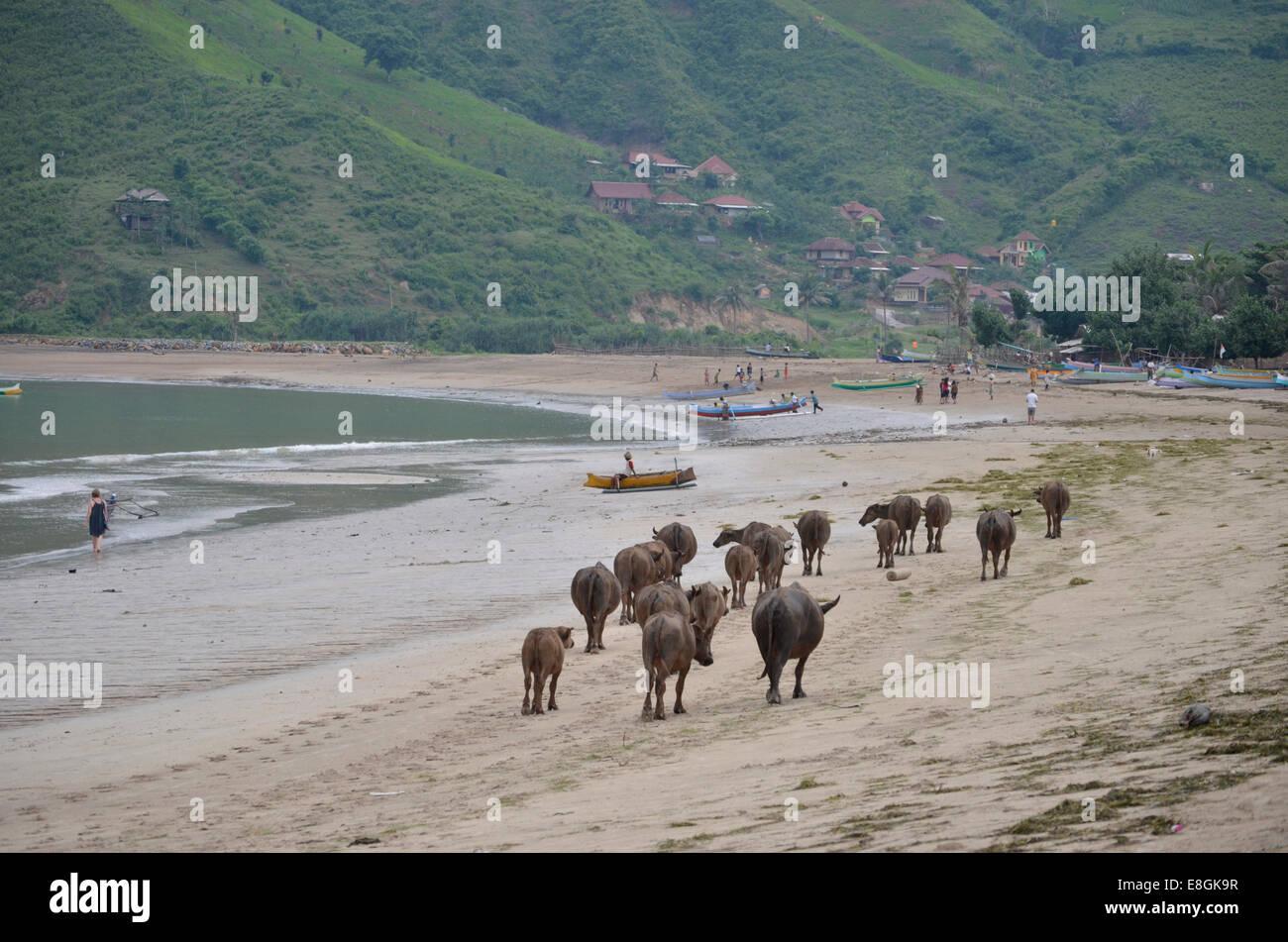 Indonesien, West Nusa Tenggara Kabupaten Lombok Tengah, Kuta, Kuta Beach, Kuh, die zu Fuß am Strand Stockbild