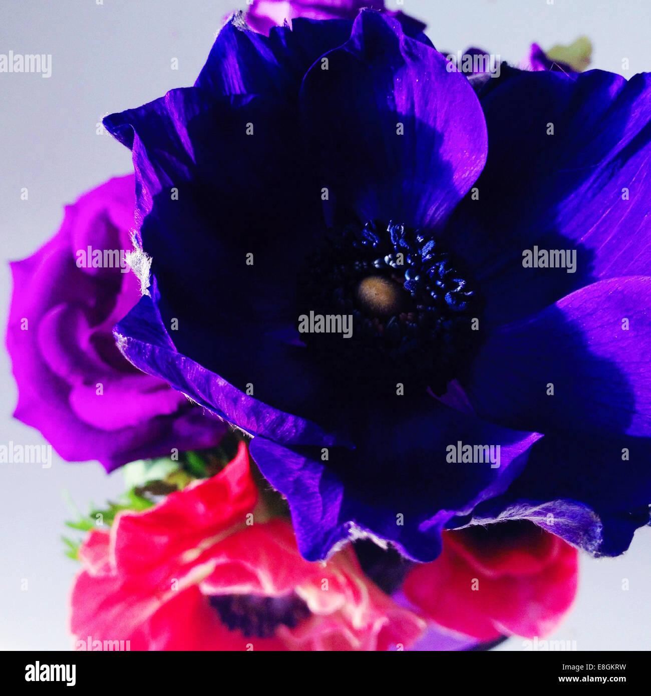 Nahaufnahme von lila und rosa Anemone Blumen Stockbild