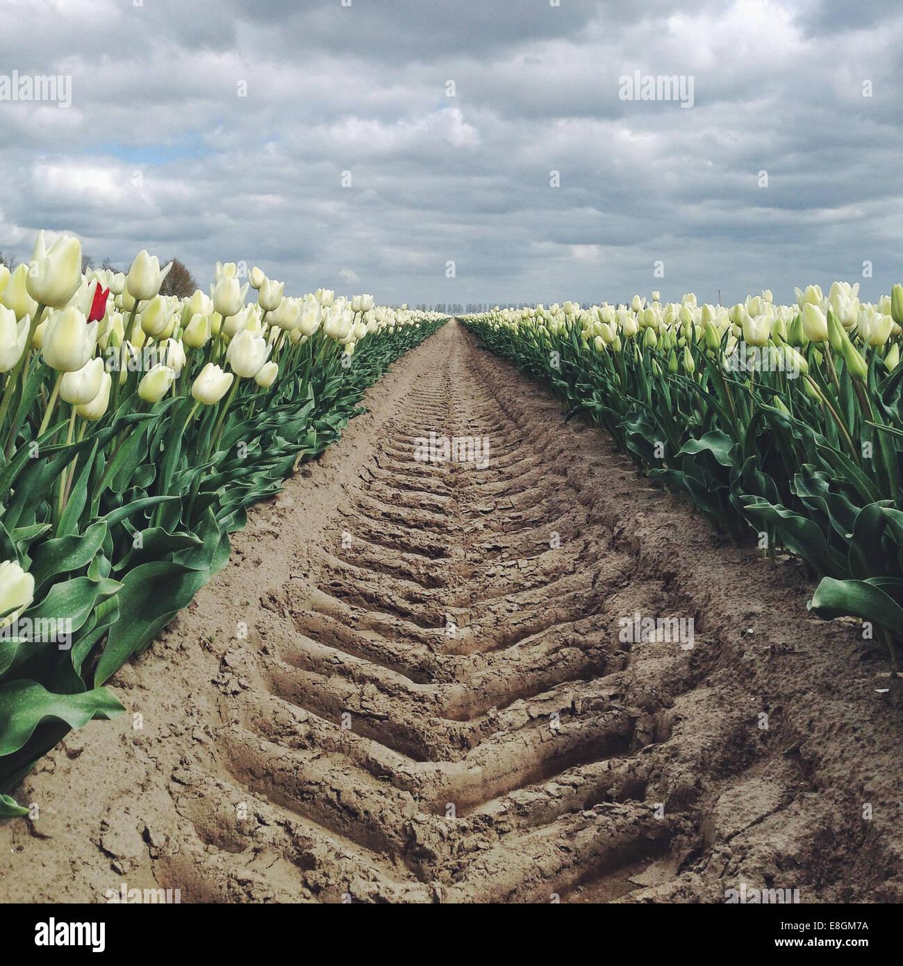 Niederlande, Holland, Reifen verfolgen auf Tulpenfeld Stockbild