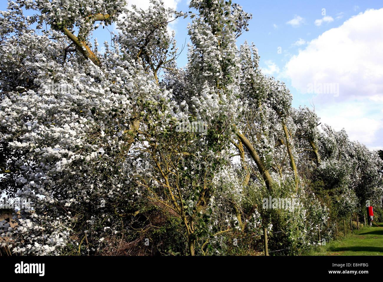 Die Unterseite Silber Blätter des Baumes Silver Maple angezeigt, wenn der Wind weht. Stockfoto