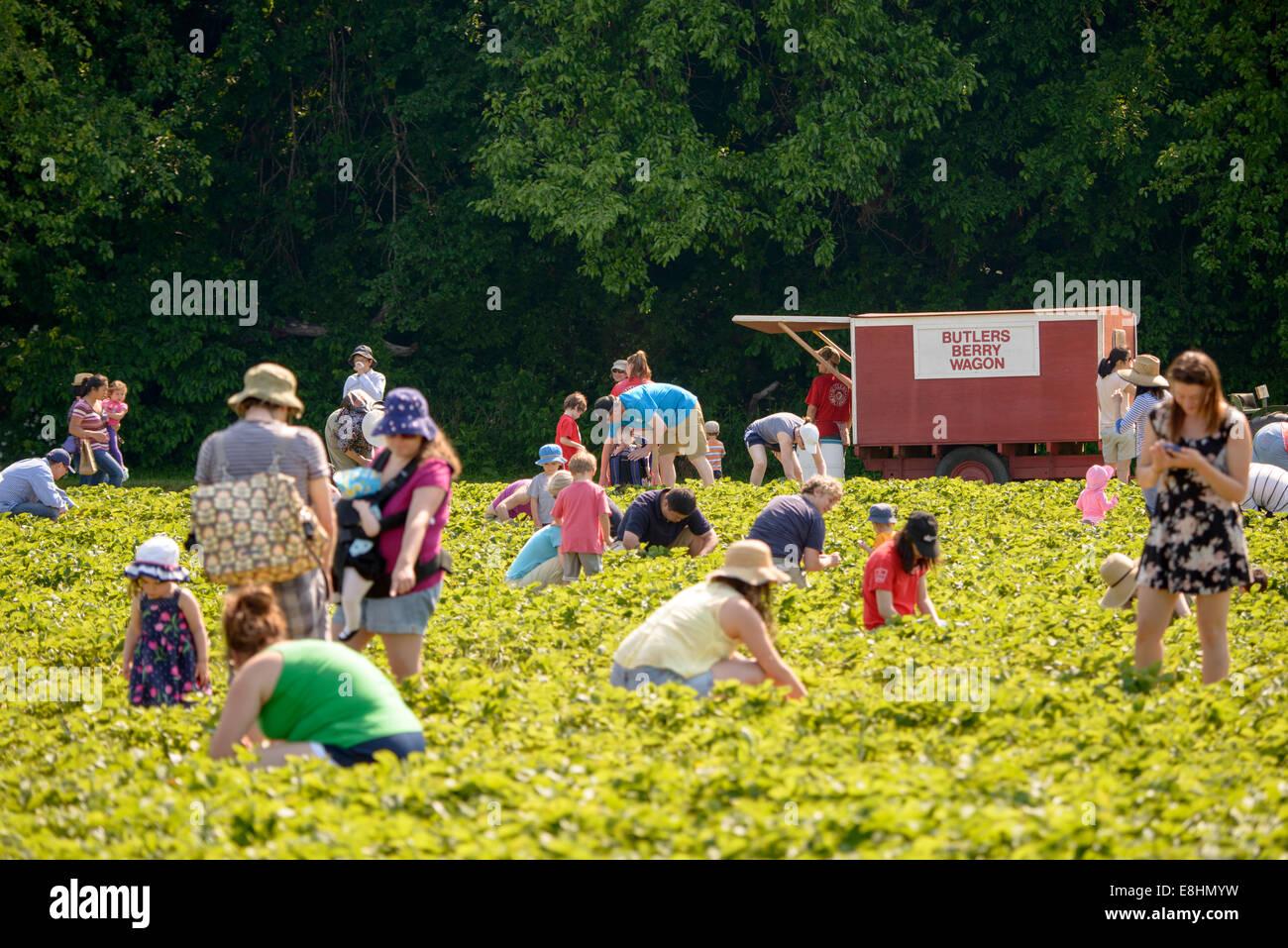 Butlers Obstgarten, eröffnet in Germantown, MD, seine Obstfelder um Besucher auf ihre eigenen Erdbeeren, Heidelbeeren Stockbild