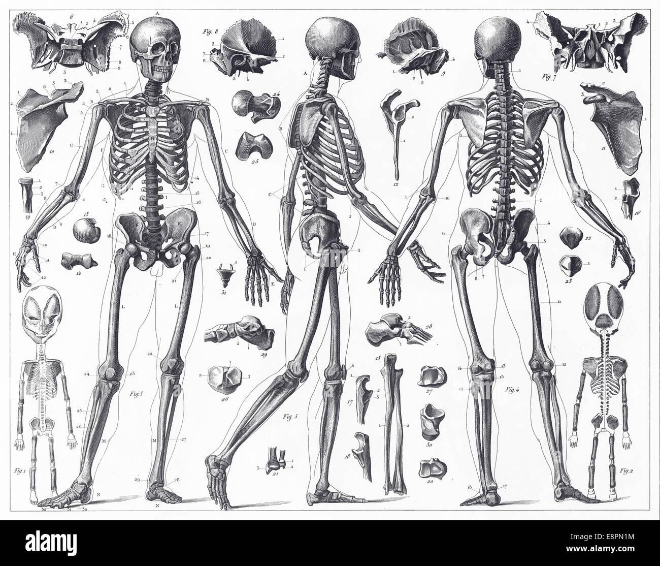 Gravierten Abbildungen der Anatomie der Knochen von ikonographische ...