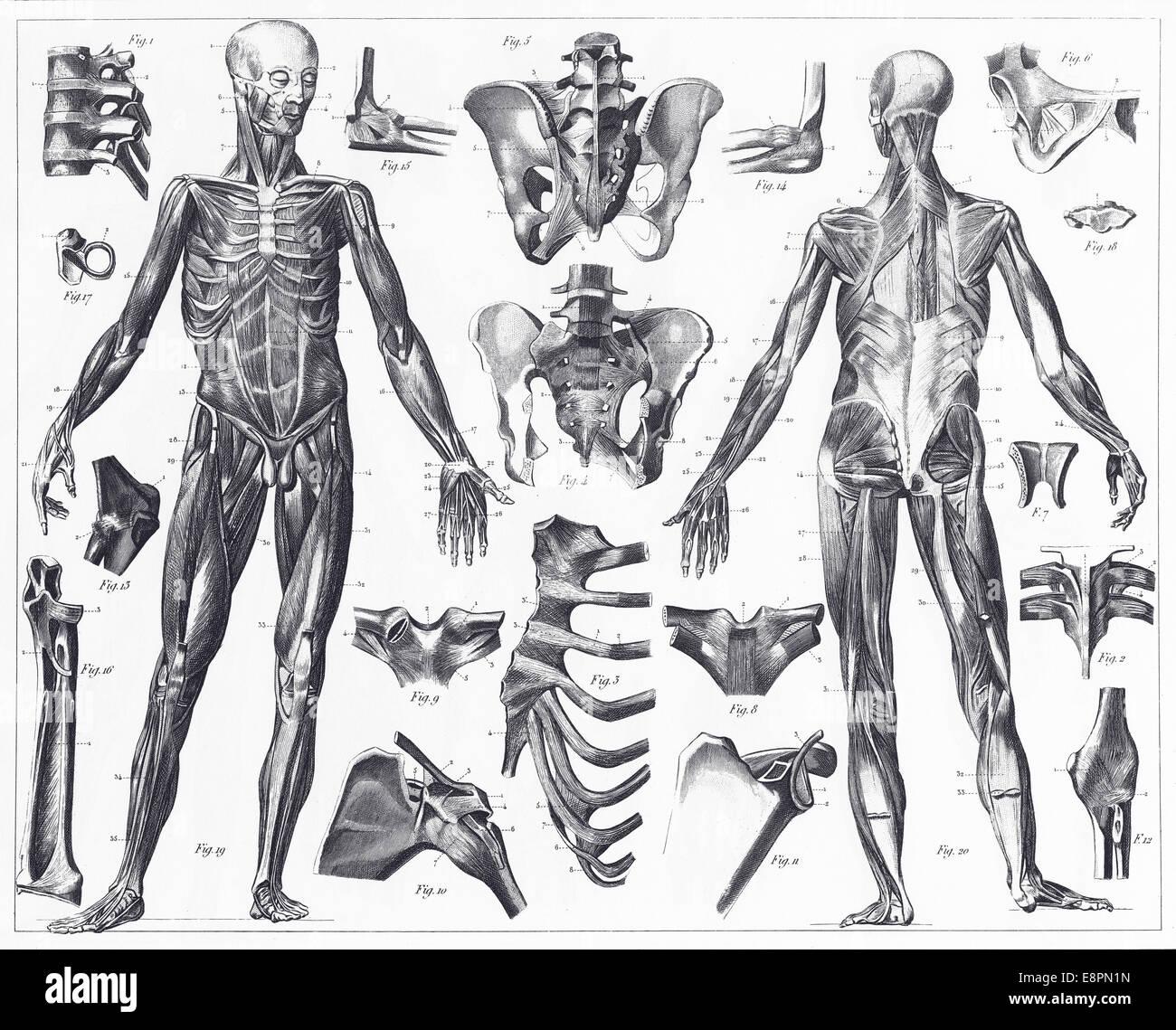 Gravierten Abbildungen der Anatomie der Bänder und Muskeln aus ...