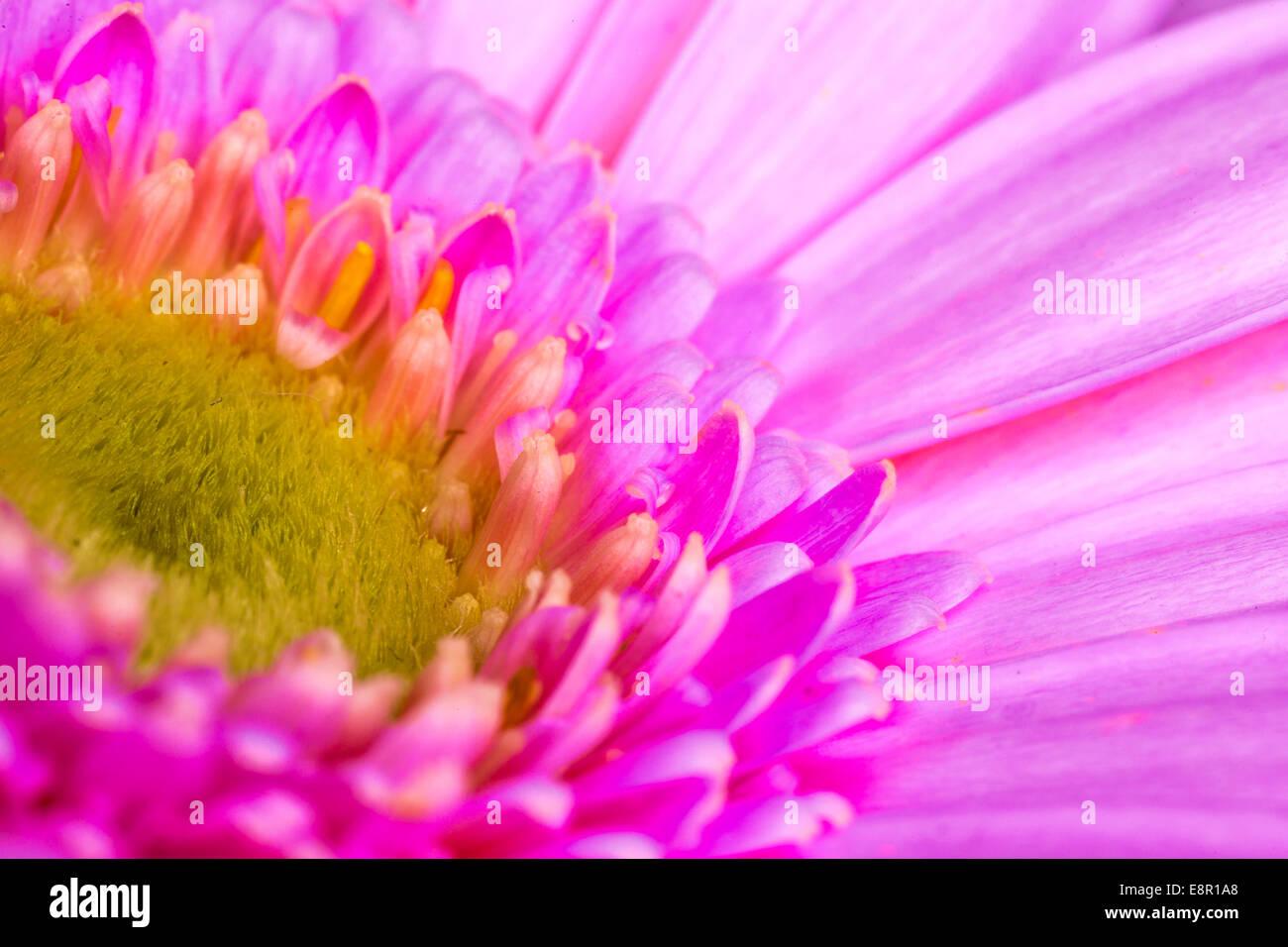 Gerbera L. ist eine Gattung von Zierpflanzen aus der Familie der ...