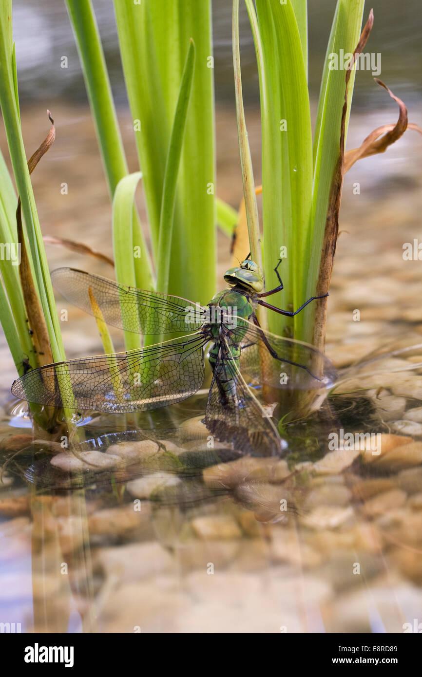 ANAX Imperator. Frau Kaiser Libelle Eiablage in einem neu angelegten Teich. Stockbild