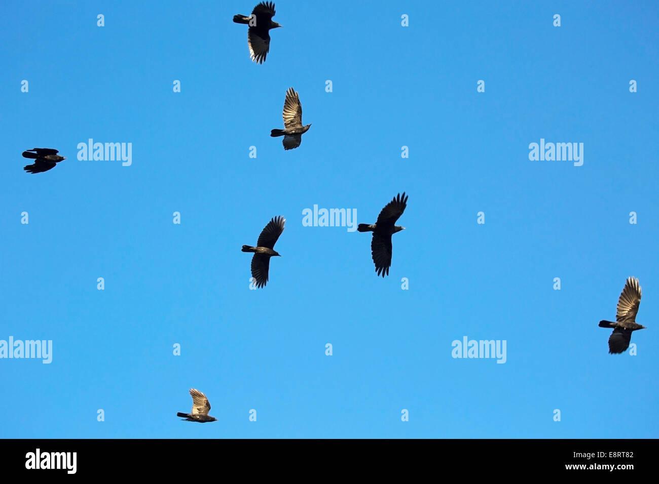 Herde von Krähen (Corvus Brachyrhynchos) fliegen Stockbild
