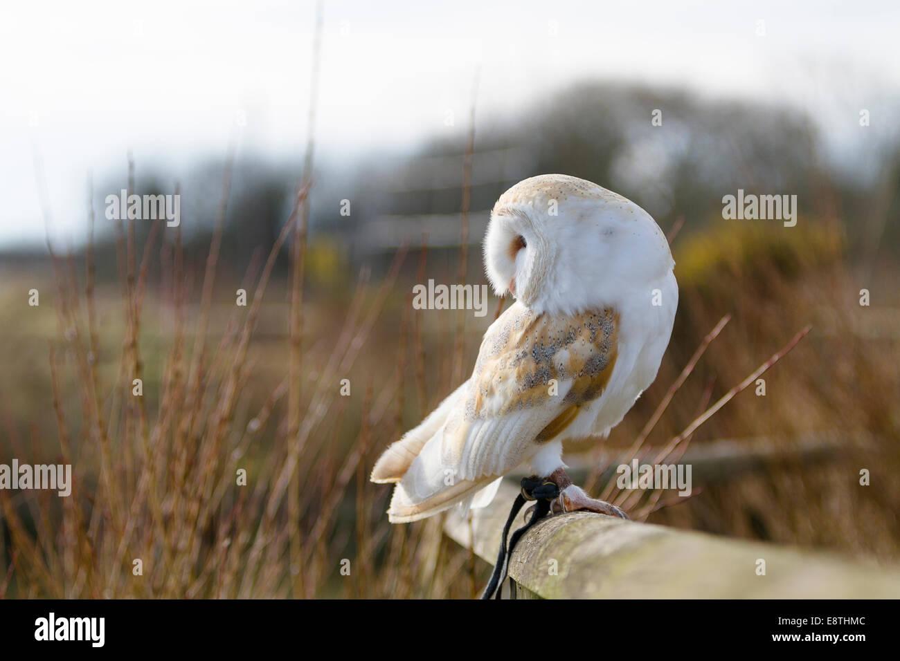 Schleiereule, Tyto Alba, Gefangenschaft, Cornwall, Uk Stockbild