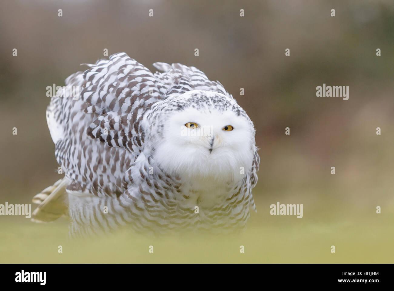 Snowy Eule, Bubo Scandiacus, Gefangenschaft, Winter, Cornwall, Uk Stockbild