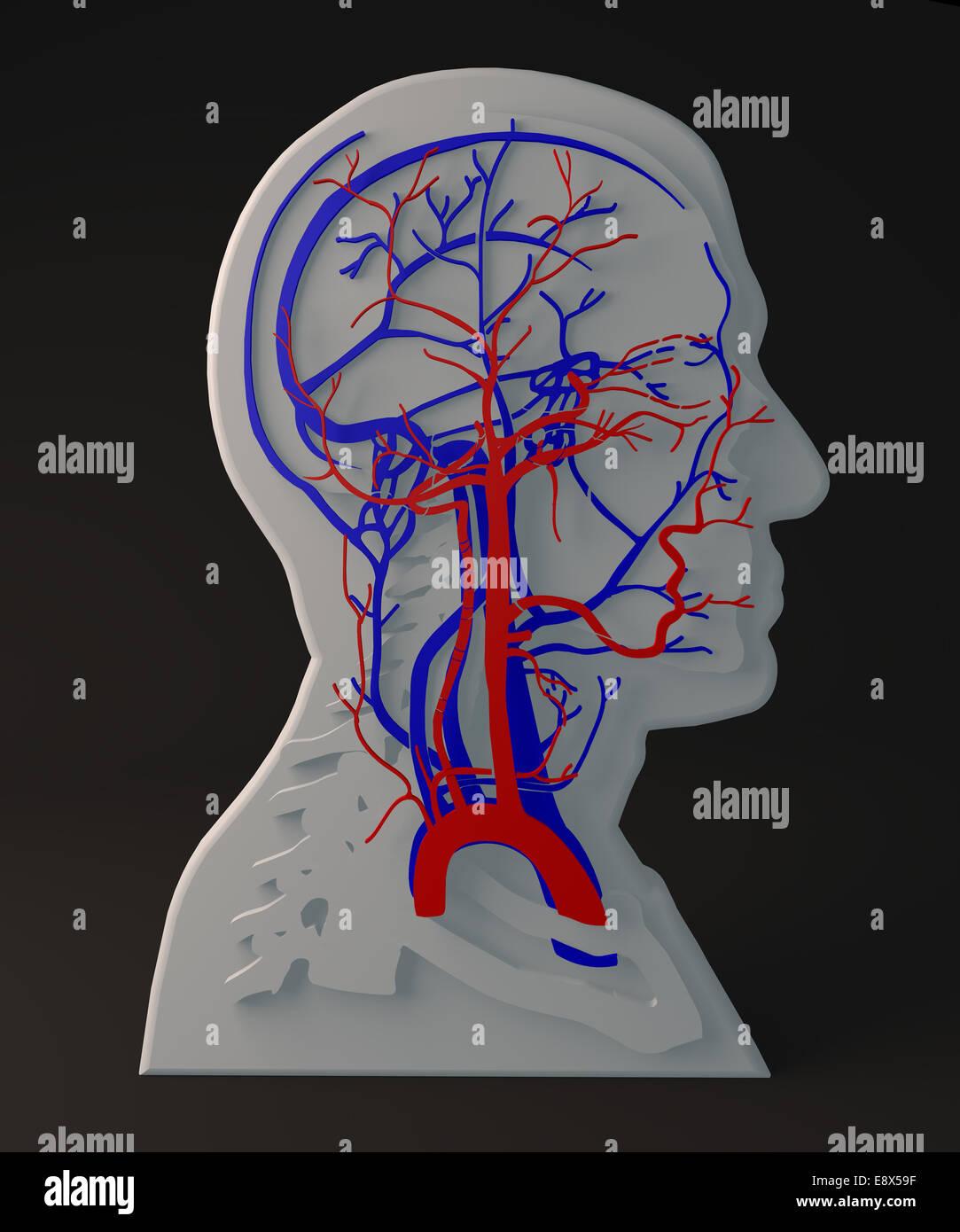 Menschliche Anatomie, Struktur des Kopfes Stockfoto, Bild: 74333659 ...