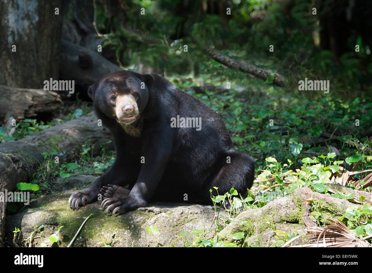 Malayischen Sonne Bär (Helarctos Malayanus), der Zoo von Singapur Stockfoto