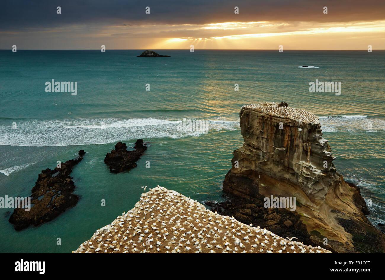 Tölpelkolonie, Muriwai Beach bei Sonnenuntergang, Neuseeland Stockbild